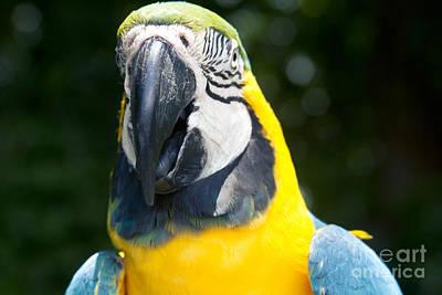 Blue And Yellow Macaw - Ara Ararauna - Kailua Maui Hawaii  Poster by Sharon Mau