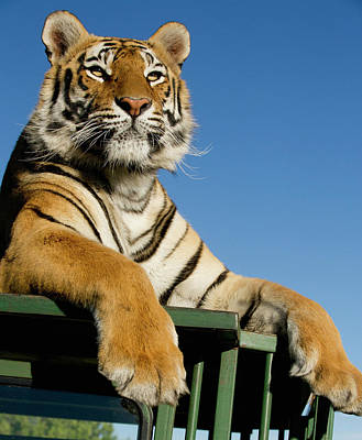 Bengal Tiger Searching For Prey Atop Poster