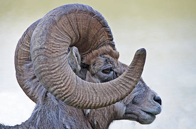 Poster featuring the photograph Bighorn Mountain Sheep 1 by Dennis Cox WorldViews