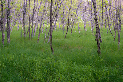 Birch Trees In The Great Meadow, Acadia Poster
