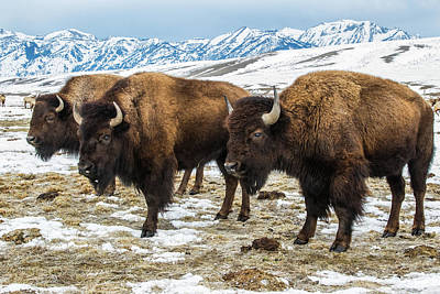 Bison In The 24,700-acre National Elk Poster