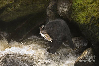 Black Bear With Salmon Poster by Ron Sanford