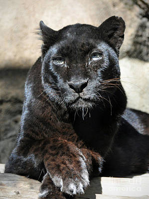 Black Leopard Poster by Savannah Gibbs
