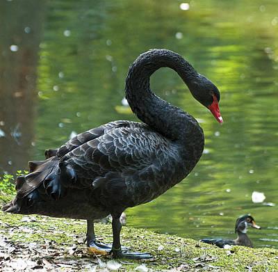 Black Swan Poster by Pat Exum