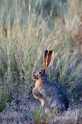 Black-tailed Jackrabbit Poster