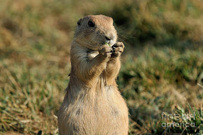 Black-tailed Prairie Dog Poster