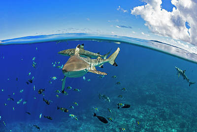 Blacktip Reef Sharks  Carcharhinus Poster by Dave Fleetham