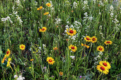 Blanket Flower Aka Brown Eyed Susan Poster by Chuck Haney