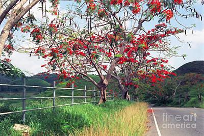 Blooming Flamboyan Trees Along A Country Road Poster