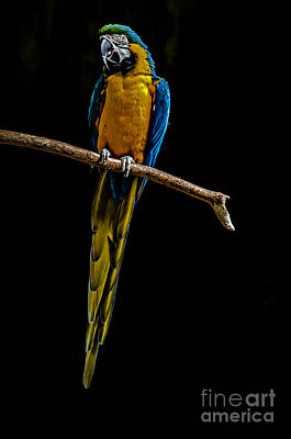 Blue-and-yellow Macaw Poster by Dianne  Paul