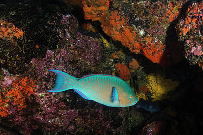 Blue-chin Parrotfish (scarus Ghobban Poster