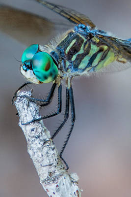 Poster featuring the photograph Blue Dasher Dragonfly by Jeanne May