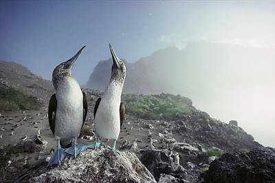 Blue-footed Booby Pair Galapagos Islands Poster by Tui De Roy
