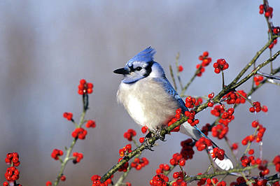 Blue Jay (cyanocitta Cristata Poster by Richard and Susan Day
