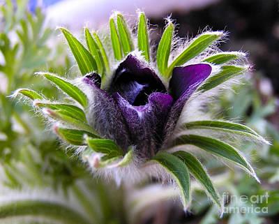 Blue Pasque Flower - Closeup Poster by Kerstin Ivarsson
