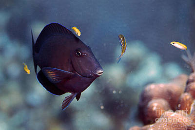 Blue Tang Poster