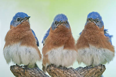Bluebirds Of Happiness Poster by Bonnie Barry