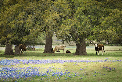 Bluebonnets And Bovines Poster by Debbie Karnes