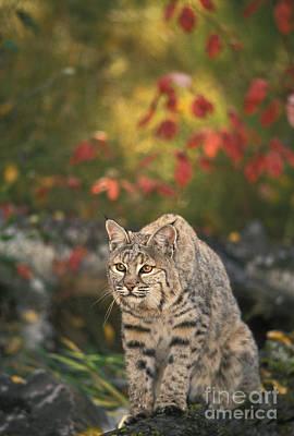 Bobcat Felis Rufus Poster by Ron Sanford