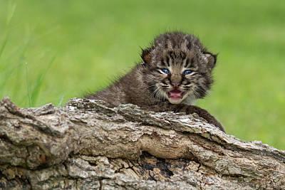 Bobcat Lynx Rufus Kitten Poster