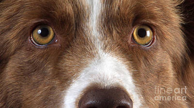 Border Collie Eyes Poster