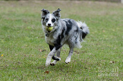 Border Collie Retrieving A Ball Poster