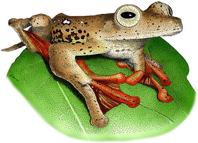 Borneo Red Flying Frog Poster by Roger Hall