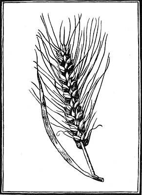 Botany Wheat, 1579 Poster