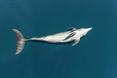 Bottlenose Dolphin And Remora Poster by Christopher Swann
