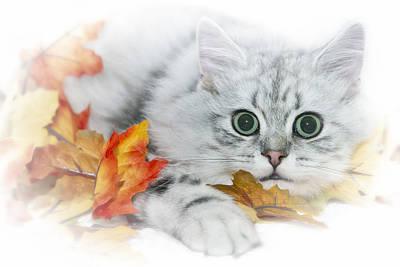 British Longhair Cat Poster by Melanie Viola