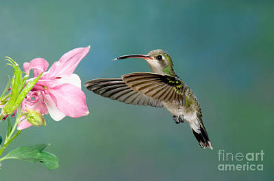 Broad-billed Hummingbird At Flower Poster by Anthony Mercieca