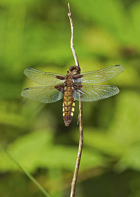 Broad Bodied Chaser Poster by Paul Scoullar
