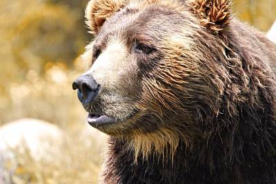 Brown Bear Portrait In Autumn Poster
