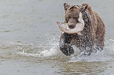 Brown Bear With Salmon Catch  Poster by Gary Langley