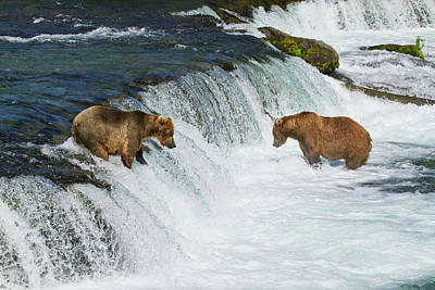 Brown Bears  Ursus Arctos  Fishing Poster by Gary Schultz
