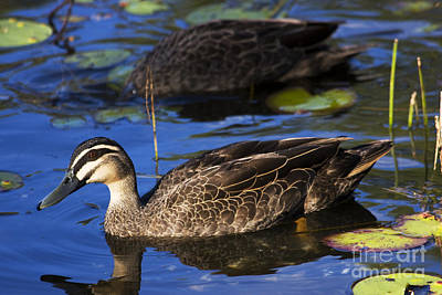 Brown Duck Poster by Jorgo Photography - Wall Art Gallery