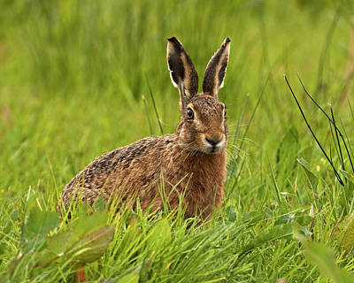 Brown Hare Poster