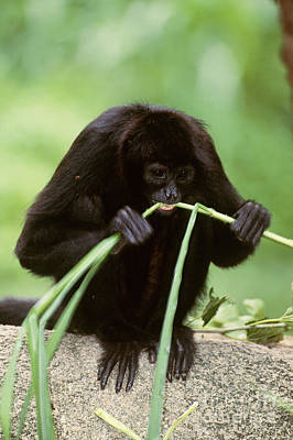 Brown-headed Spider Monkey Poster