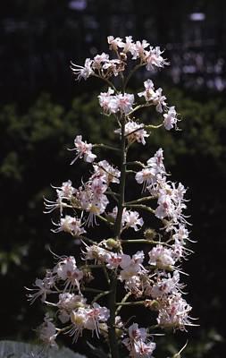 Buckeye Flower Poster