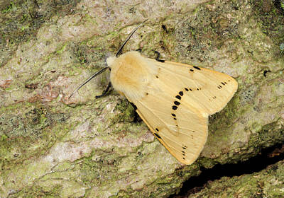 Buff Ermine Moth Poster by Nigel Downer