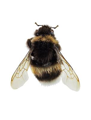 Buff-tailed Bumblebee Poster by F. Martinez Clavel