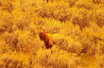Bull Elk Calling Out Poster