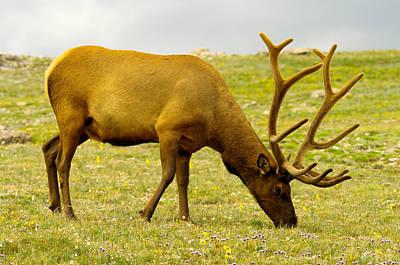 Bull Elk Grazing Poster by Jeff Swan