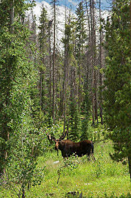 Bull Moose Grazing In Mountain Forest Poster