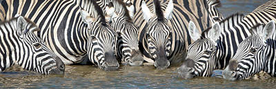 Burchells Zebras Equus Quagga Poster by Panoramic Images