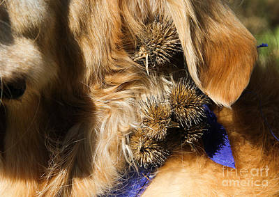 Burs In Dogs Fur Poster by Photo Researchers