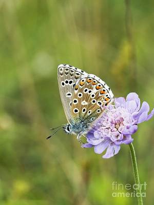 Butterfly Feeding On Small Scabious Poster by Adrian Bicker