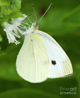 Cabbage White Butterfly Poster by Iris Richardson