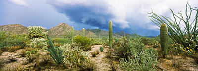 Cacti Growing At Saguaro National Park Poster by Panoramic Images