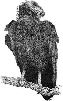 California Condor Poster